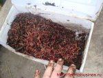Червь калифорнийский разведение – Как разводить и выращивать американских красных калифорнийских червей привезенных из США в наших домашних условиях