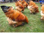 Держать куры на мясо – Как разводить куриц на даче несушек и бройлеров, в тч летом (с чего начинать, породы, за и против и тд)