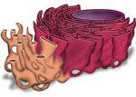 Картинки эпс – Эндоплазматическая сеть. Органоиды и другие составляющие клетки :: SYL.ru