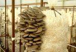 Помещение для выращивания грибов – Требования к помещению для выращивания вешенки (Environmental requirements for the cultivation of oyster mushrooms)