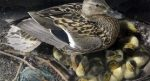 Разведение уток как бизнес – финансовый план утиной фермы и пошаговая инструкция как заняться выращиванием птицы на мясо
