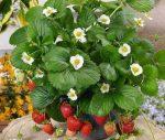 Ремонтантная клубника в квартире зимой – критерии выбора сорта, выращивание из семян, правила ухода летом, зимой, причины отсутствия плодоношения