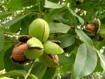 Сколько растет ореховое дерево – Грецкий орех: популярные сорта дерева с фото особенности посадки и ухода способы размножения