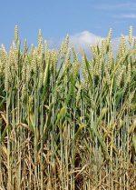 Как растет пшеница – Пшеница — Википедия